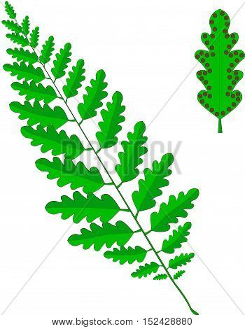 Green frond of a fern, leaf with brown sporangia on white, vector illustration