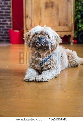 Beautiful milk chocolate havanese dog is lying on the floor in the room
