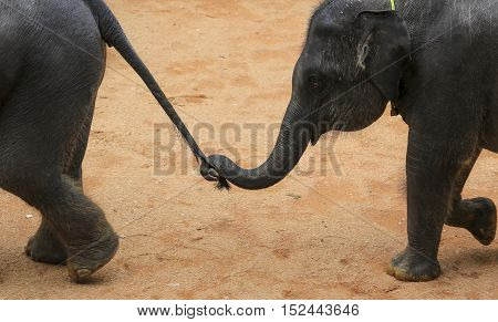 Asian Elephant Use Trunk To Hold Others Elephant Tail