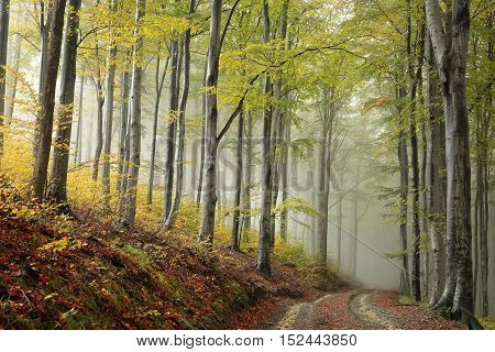 Path through the beech forest on a misty autumn weather