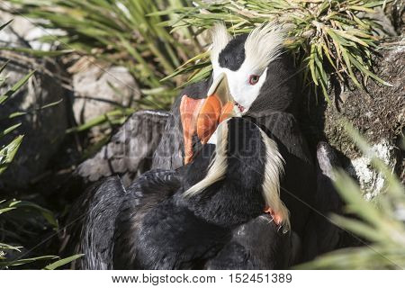 two males Tufted puffins during the fight for a nesting site