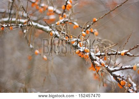A few orange berries of sea-buckthorn in the snow on a branch with dry leaves. Branch on abstract blurred background.