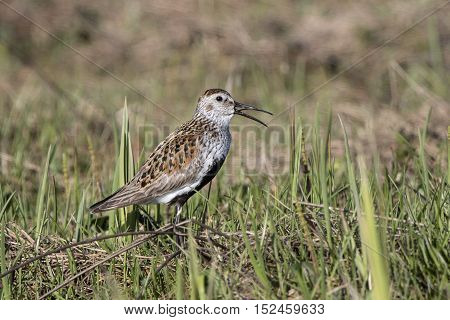 singing male Dunlin in the marshy tundra Bering Island