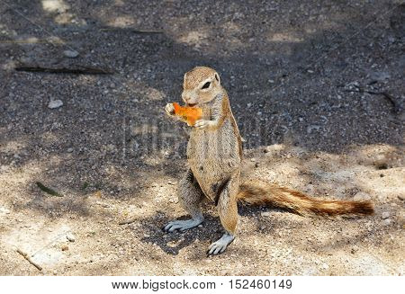 Gopher eating stolen from tourists tomato in Namibia