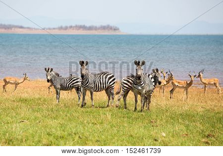 Dazzle of Zebras on the lush green african savannah with impala in the background against Lake Kariba