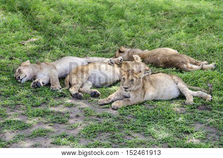 Jung lions sleeping on the grass in Serengeti Tansania