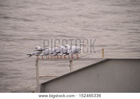 Some relaxing seagulls. Seagalls at the river