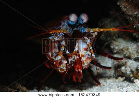 Peacock mantis shrimp is piping out from its burrow, Puerto Galera, Philippines
