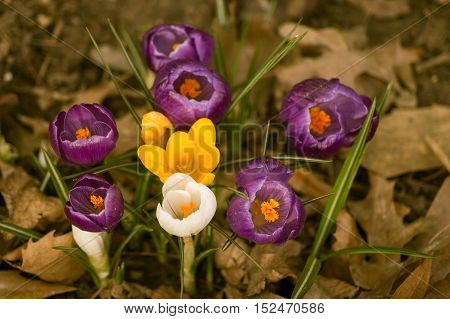 Close up of beautiful colourful crocus flowers in the morning. Crocus flowers. Crocuses in spring