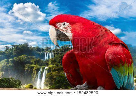 Scarlet Macaw bird on the nature in Foz do Iguazu, Brazil