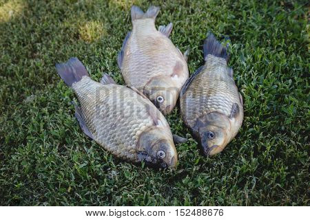 Crucian carp fish swimming in the pond