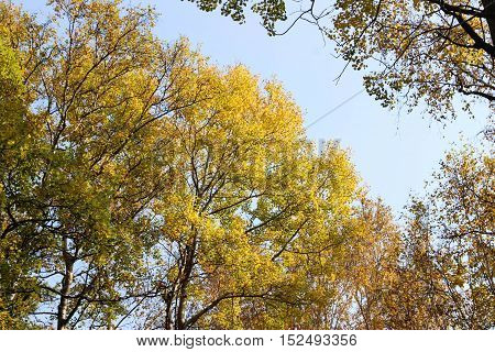 Branch with yellow leaves in early autumn