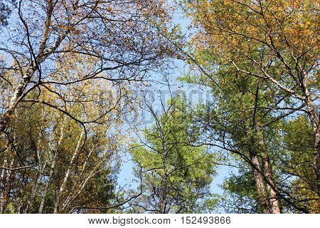 Tall trees in forest in early autumn