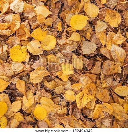 Yellow annd Golden Leaves as Autumn Natural Background