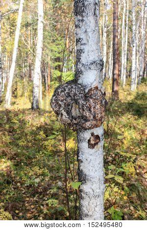 Mushroom on a thin birch tree in autumn forest