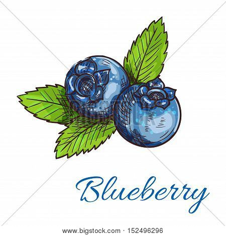 Blueberry fruits isolated sketch. Healthy natural blue berries of wild bilberry with green leaves for organic farming emblem, vegetarian fruity dessert or juice packaging design