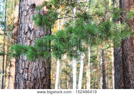 Long and green needles of a spruce branch