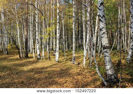 The splendor of the forest in early autumn