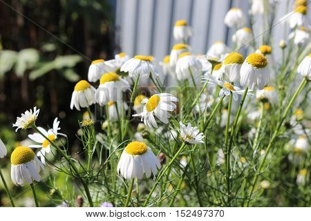 Daisies in the garden after frost in the fall