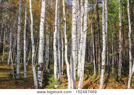 The white bark of birch trees in the forest