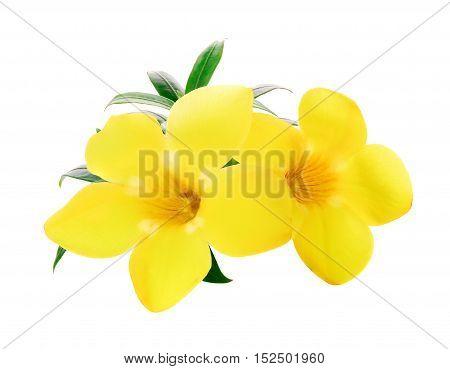 Golden trumpet Allamanda flower isolated on white