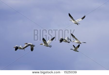 Geese In The Flight 2