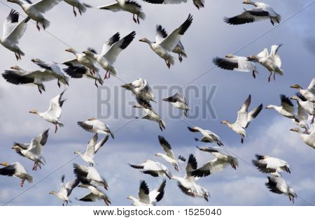 Geese In The Flight 3