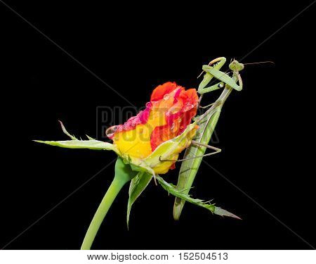 Green Praying Mantis Mantis religiosa sitting on a rosebud isolated on black cleaning its legs from water droplets. Outside of Europe this species is also called European Mantis.