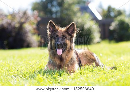 Beautiful dog german shepard outdoors on a lawn