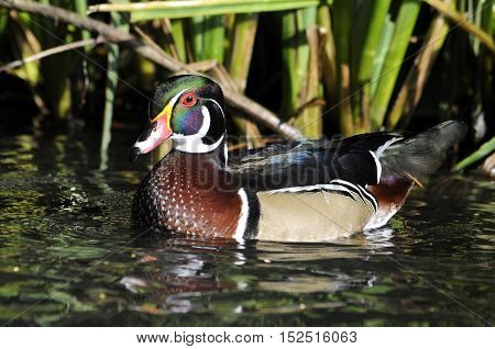 Wild male North American wood duck swimming on water