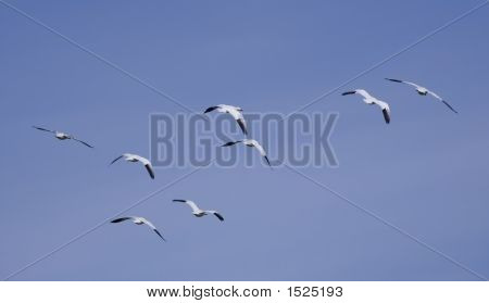 Geese In The Flight 5