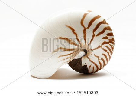 an huge empty shell of a nautilus
