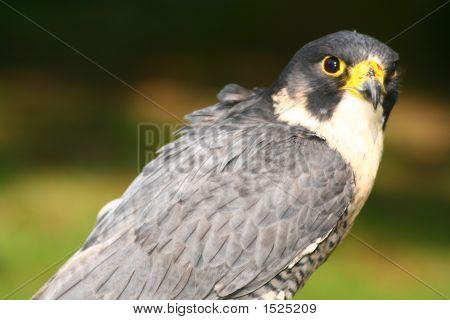 Peregrine Falcon (1631)