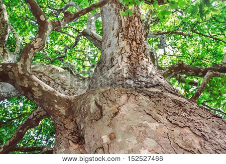 Peeling trunk and massive branches of old sycamore tree
