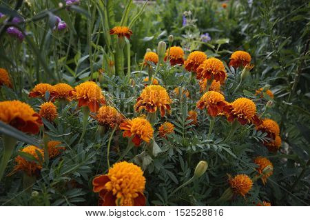 blooming Marigolds (Tagetes) - plants of family Asteraceae or Compositae