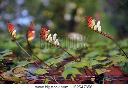 Yellow and red flowers of decorative liana Ipomea Mina lobata in perspective closeup. Selective focus.