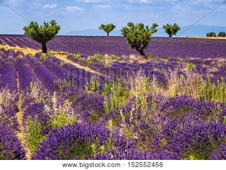 Lavender fields in Valensole with olive trees. Summer in Alpes de Hautes Provence Southern French Alps France