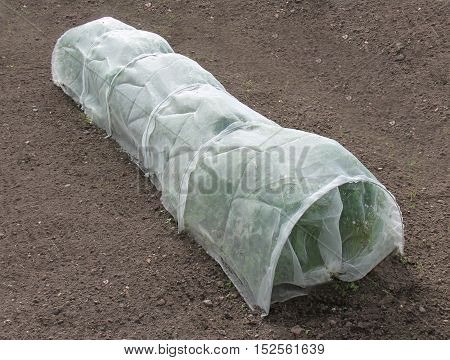 A Crop of Carrot Plants Covered by Horticultural Fleece.