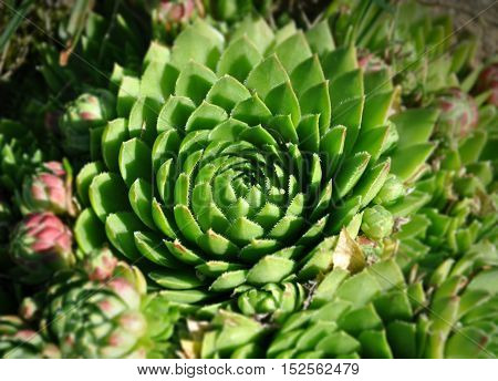 Green flower Sempervivum closeup for the alpine slide. Sacred floral geometry.