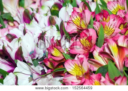 Alstroemeria flowers background, peruvian lily of different colors