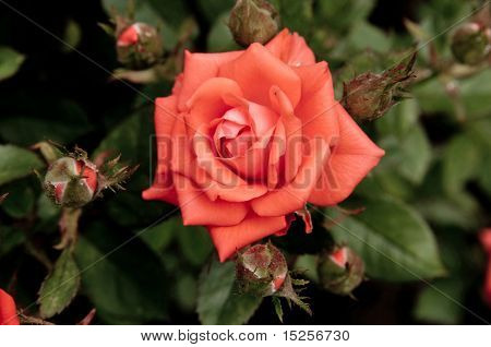beautiful pink rose, outdoot, nature