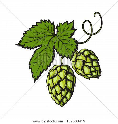 hop plant images illustrations vectors hop plant stock