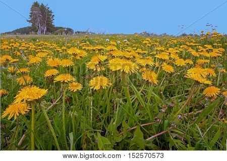 field with yellow dandelions on a background of blue sky