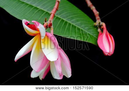 Plumeria Flowers On Tree (other Names Are Frangipani, Apocynaceae, Nerium Oleander, White Plumeria,