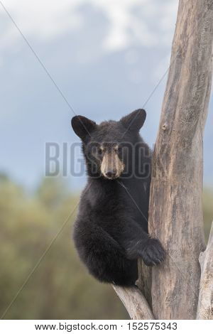 a cute black bear cub in a dead tree