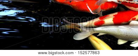 Koi fish zoom in and crop to fish tail of swimming group in pond house photo longer have water space for your word.