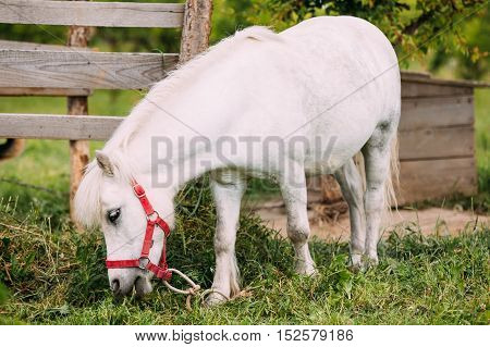 Standing Nice White Pony Is Eating Grass At Countryside Ranch. Nag In Red Bridle, Wood Fence Background.