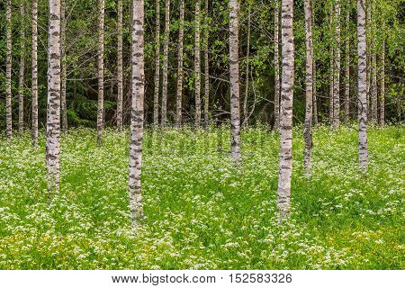 Birch trees and white flowers in summer landscape
