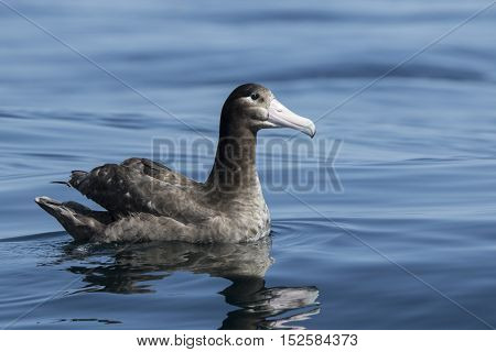 young short-tailed albatross sitting on the ocean water summer day