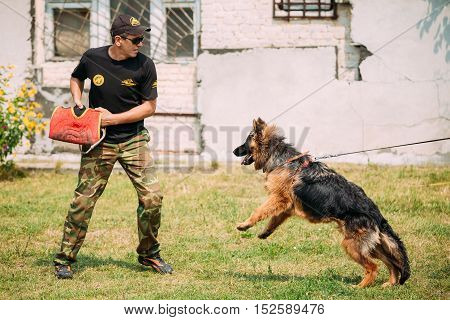 Gomel, Belarus - July 23, 2016: German shepherd dog training in Gomel Regional sports club and decorative dog-breeding. Biting dog. Alsatian Wolf Dog. Deutscher, dog